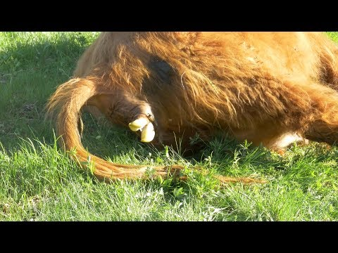 The Amazing Birth Of A Highland Cattle | 4K Video