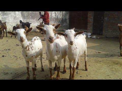 High Milk Producing Goat in India - Barbari