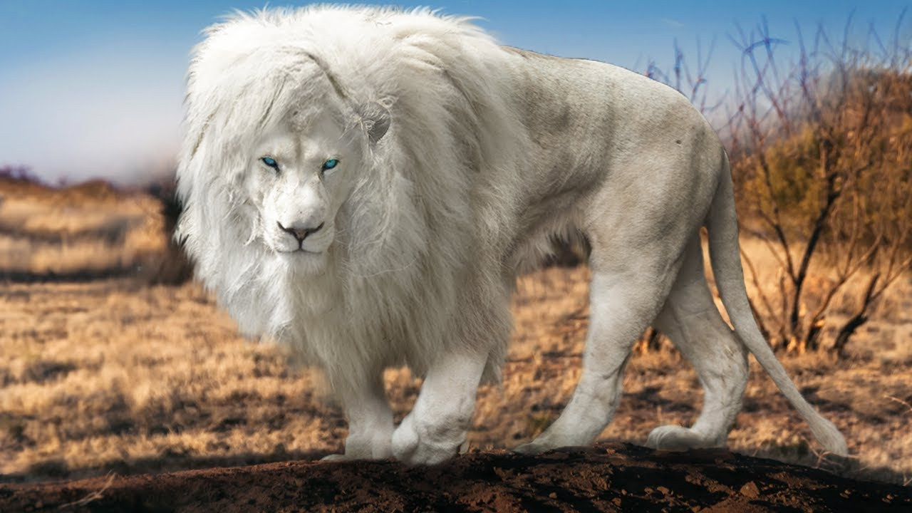 8 Most Unique Lions On Earth