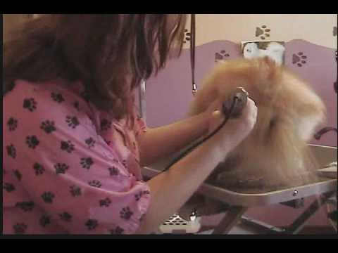 Grooming the Pomeranian (Breed trim) Part 1