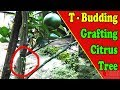 Grafting Citrus Trees T Budding On Citrus by Grafting Examples