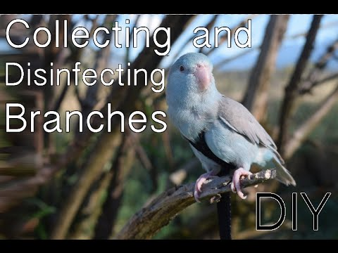 Collecting and Disinfecting Branches | DIY