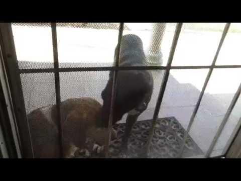 Puppy Licks Other Dog's Wound