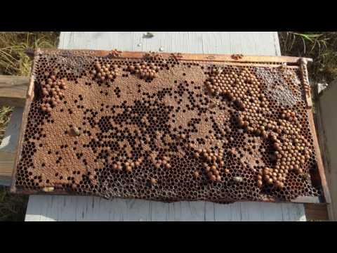 11 Using Drone Brood Removal to Control Varroa Mites 11116