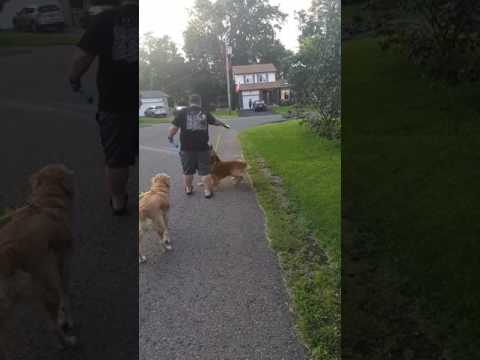 Funny. Dog taking  owner for a walk.