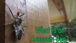 Assassin Bugs In The Garden Caution