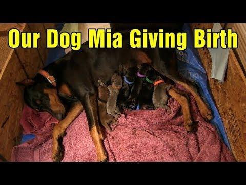 Our dog Mia giving birth - Mamma Mia!
