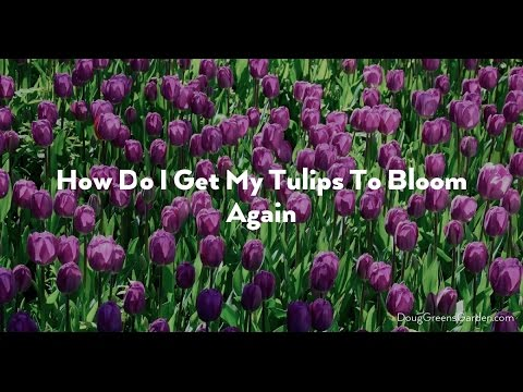 Can I Get My Tulips To Bloom Again