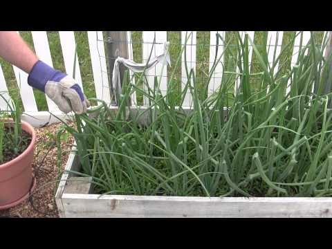 Harvesting Green Onion Stalks