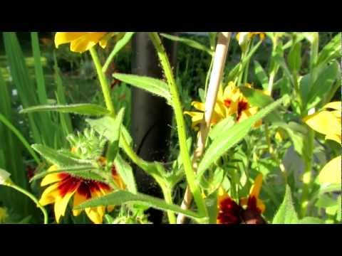 TRG 2012:  Identifying Aphids in Your Garden: Soapy Water vs. Spiders