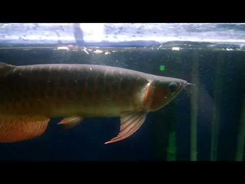 Northfin Tropical Sticks for Asian Arowana tank