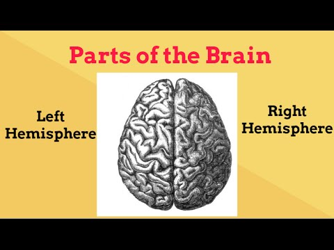 Brain Facts for Kids-Left and Right Brain