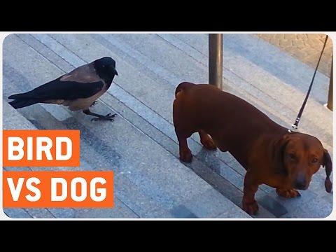 Bird Attacks Dog | Pissed Off Crow