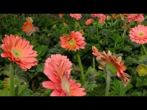How to grow Gerbera daisy  plant by seeds