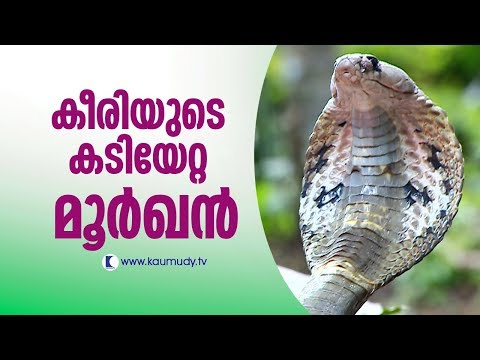 Wow ! Vava Suresh rescues a cobra bitten by a mongoose   Snakemaster   Latest Episode