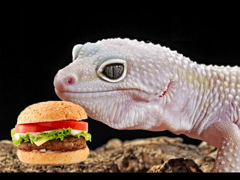 Is Your Leopard Gecko Overweight?
