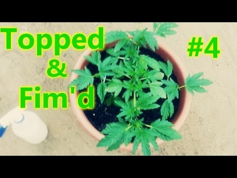 🌿Topped & Fimd # 4 🌿 Outdoor Grow