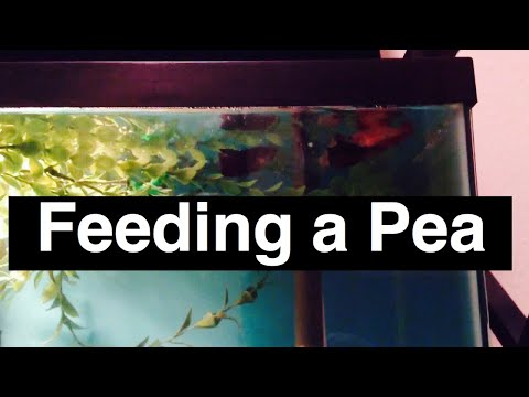 Feeding Pea To Betta Fish For Bloat Issues Nutrients