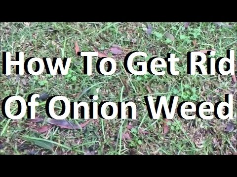 [Onion Weed Control] [How To Get Rid Of Onion Weed] [Onion Weed Control] [Get Rid Of Onion Weed]