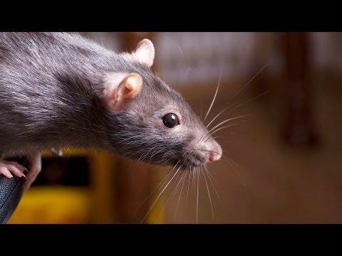 How to Keep a Rat Happy & Healthy | Pet Rats