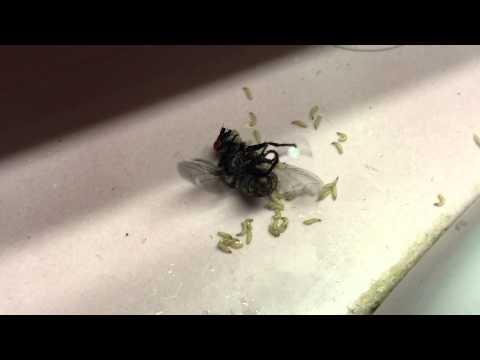 Sprayed fly laying maggots 😆