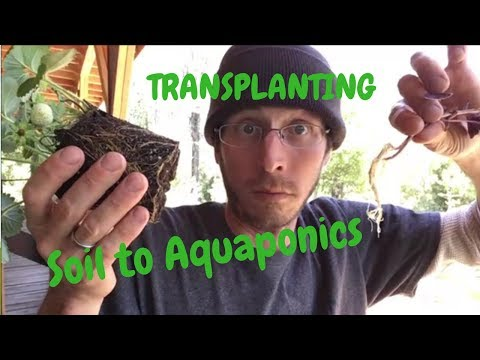 How to Transplant from Soil to Aquaponics