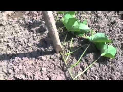 Planting Sweet Potatoes From Vine Cuttings