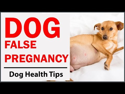 How to Identify If Your Dog Is Having a False Pregnancy