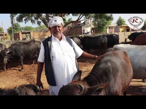25 लीटर तक दूध देने वाली मुर्रा भैसो के मालिक से जाने अनुभव, best Murray Buffalo Owner Meet