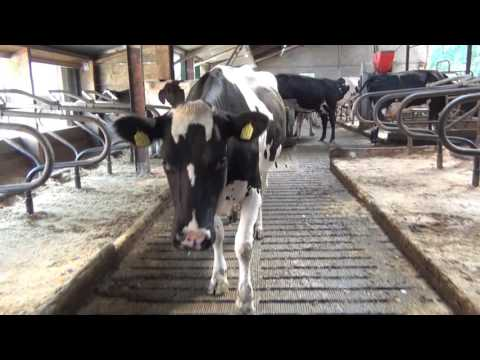 Quill Productions - Intra Repiderma in Cow Farming UK