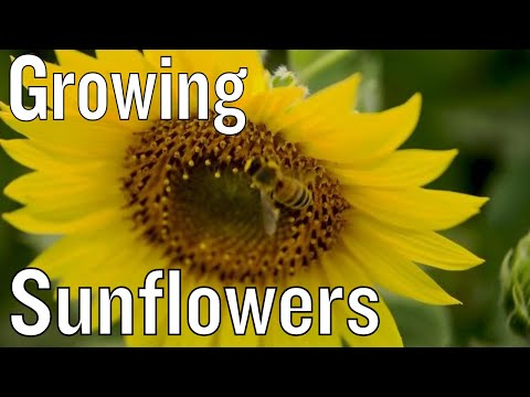 5 Tips for Growing Sunflowers