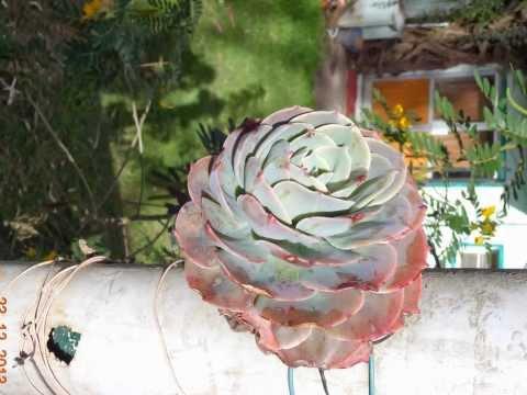Strange rose in India