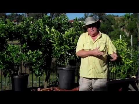 Train-A-Tree - Citrus Training In A Pot #1