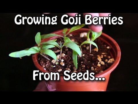 Growing Goji Berries - How to grow Wolfberries from Seed