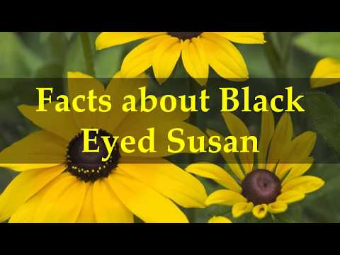 Facts about Black Eyed Susan