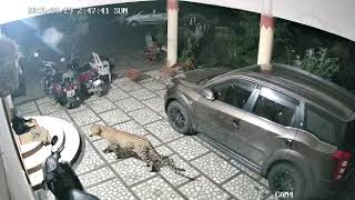 Leopard enters home to hunt pet dog | WATCH