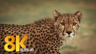 8K African Wildlife - Kgalagadi Transfrontier Park, South Africa - Short Preview