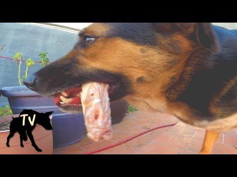 Dog Eating Raw Meat Diet | Raw Feeding Vlog