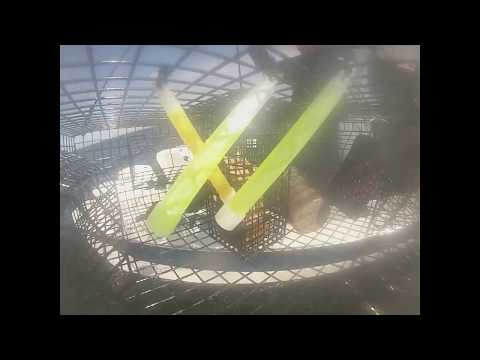 Catching Spot Prawns in Sequim, Washington - GoPro Video