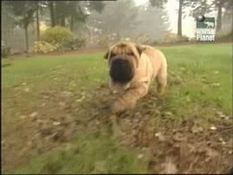 Shar Pei - History of breed (Part 1of3)