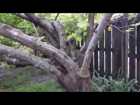 Pruning Mulberry Trees