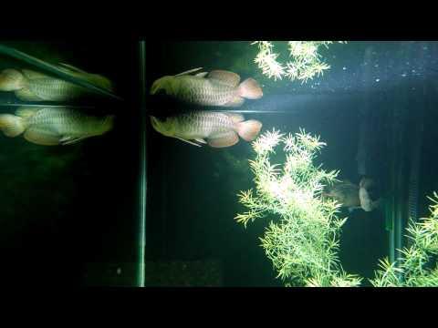 Asian Arowana Water Dragon