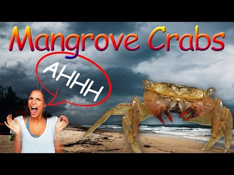 How to catch mangrove crabs for bait!