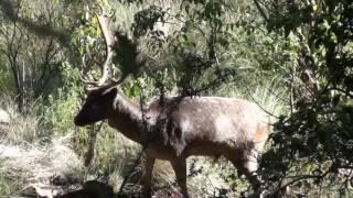Zahunters Fallow Deer Edition2 short clip