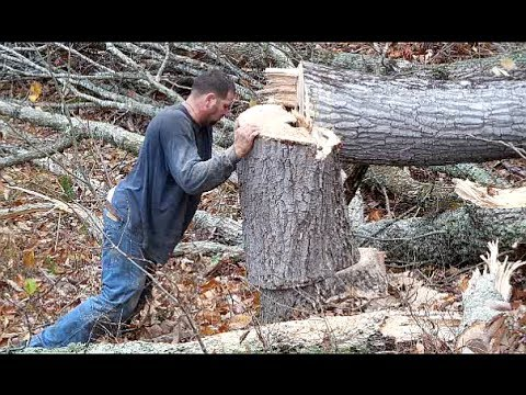 Big Tree Cutting by Pro's. Tree Services, Tree Removal Services.  Cutting Trees.