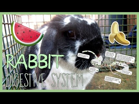 Understanding Your Rabbit's DIGESTIVE SYSTEM