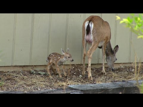 Baby White Tail Deer Fawn Born In My Yard