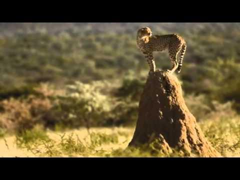 Help save cheetahs
