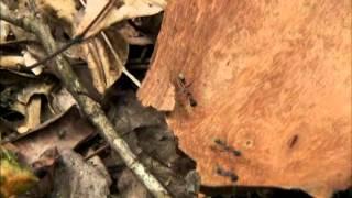 Formiche Bulldog VS Ragno