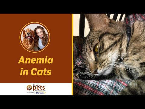 Dr. Becker Talks About Anemia in Cats